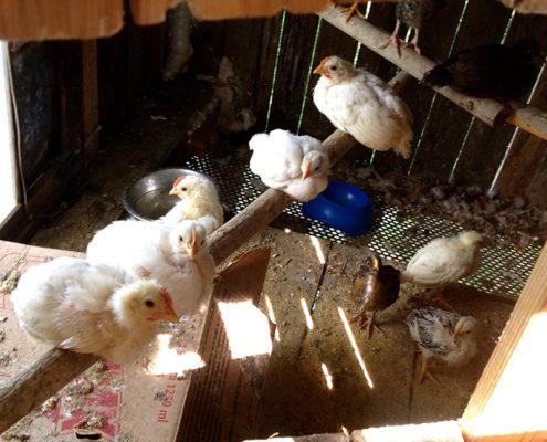 hühner im biobauernhof in der toskana ein bio-agriturismo mit ferienwohnungen und pool