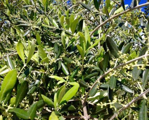 olivenöl im biobauernhof in der toskana ein bio-agriturismo mit ferienwohnungen und pool
